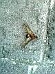 Zompopo de mayo todavía con alas.